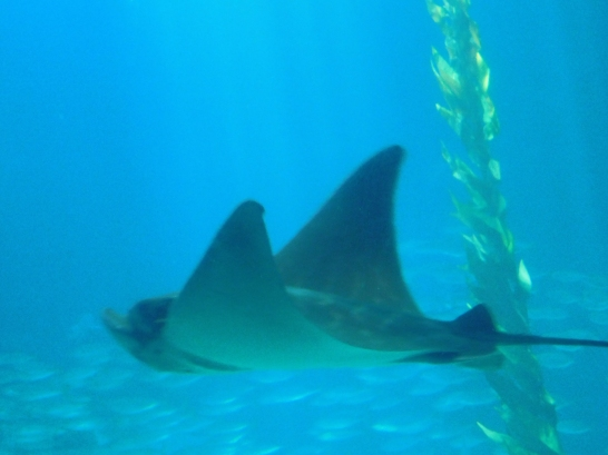 oceanario-raya